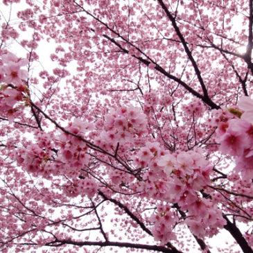 日タイ修好130周年記念でタイに桜を!